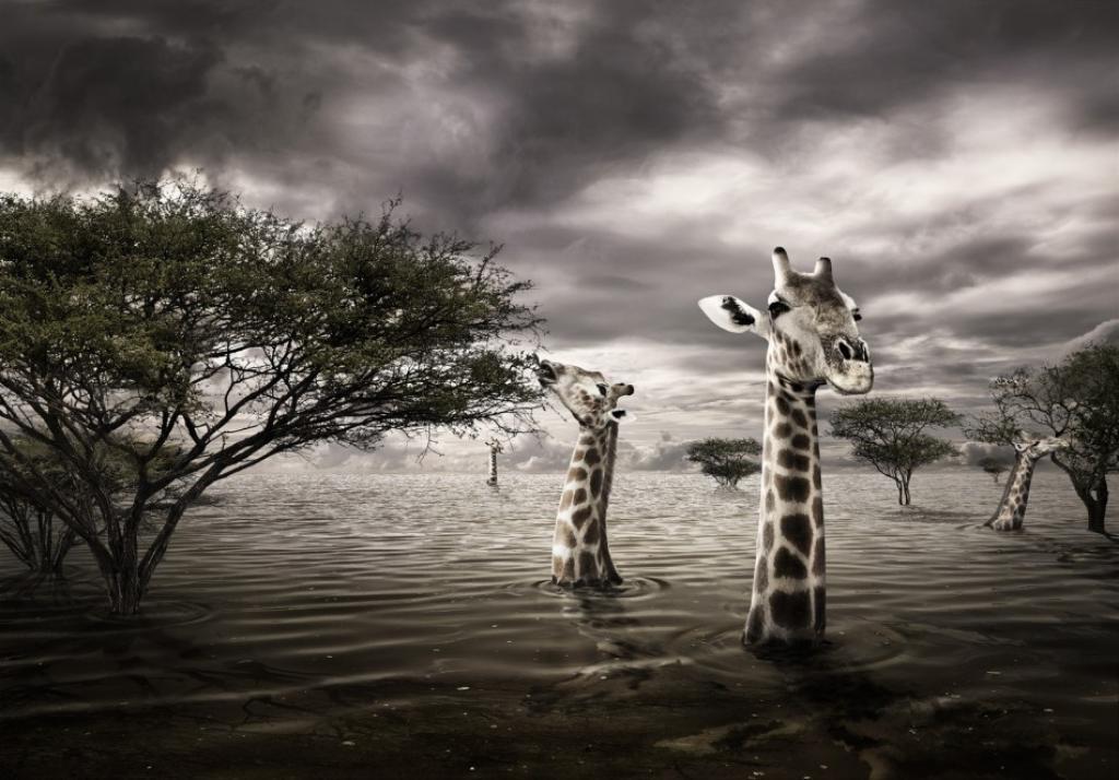 optimized-maxW950-staudingerfranke_wwf_giraffes