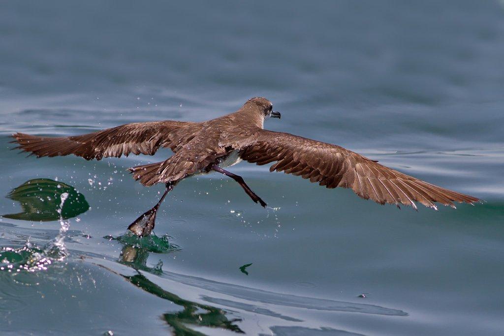 Persian Shearwater (Puffinus persicus) - offshore, Mughsayl