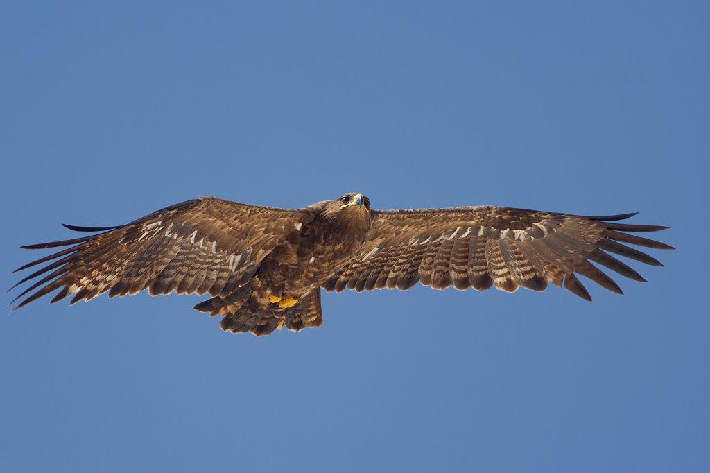 Steppe Eagle (Aquila nipalensis) - Raysut