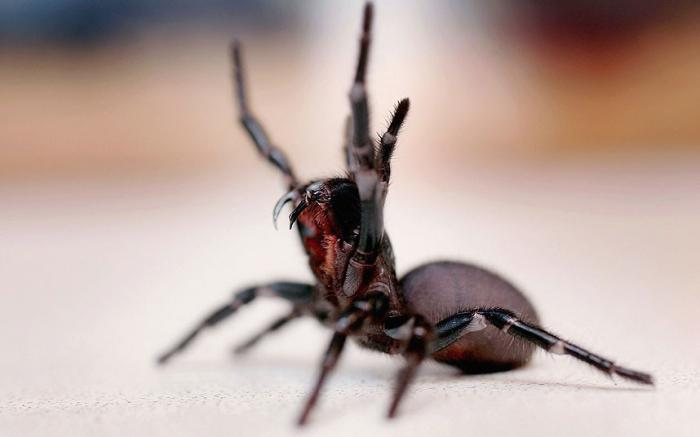 Sydney funnel web spider / Picture: GETTY