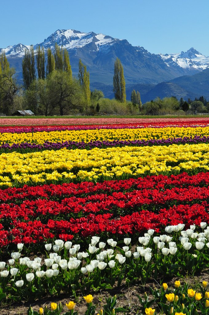 Trevelin tulip fields in Chubut, Argentina (by pampa 1967)