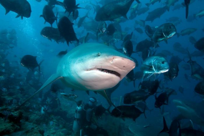 Bull shark 7 Picture. AP