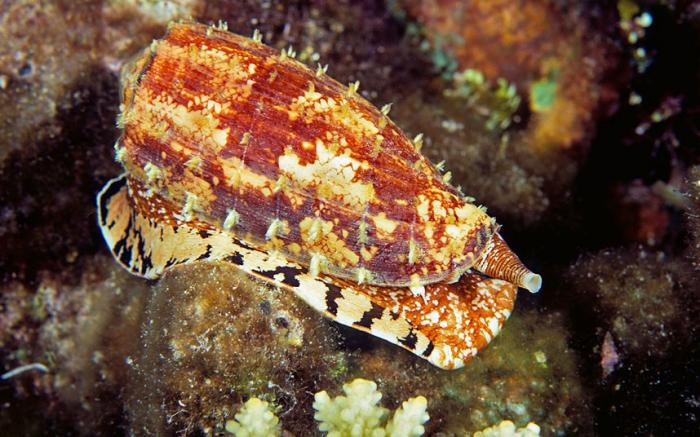 Cone snail / Picture: © David Fleetham /Alamy
