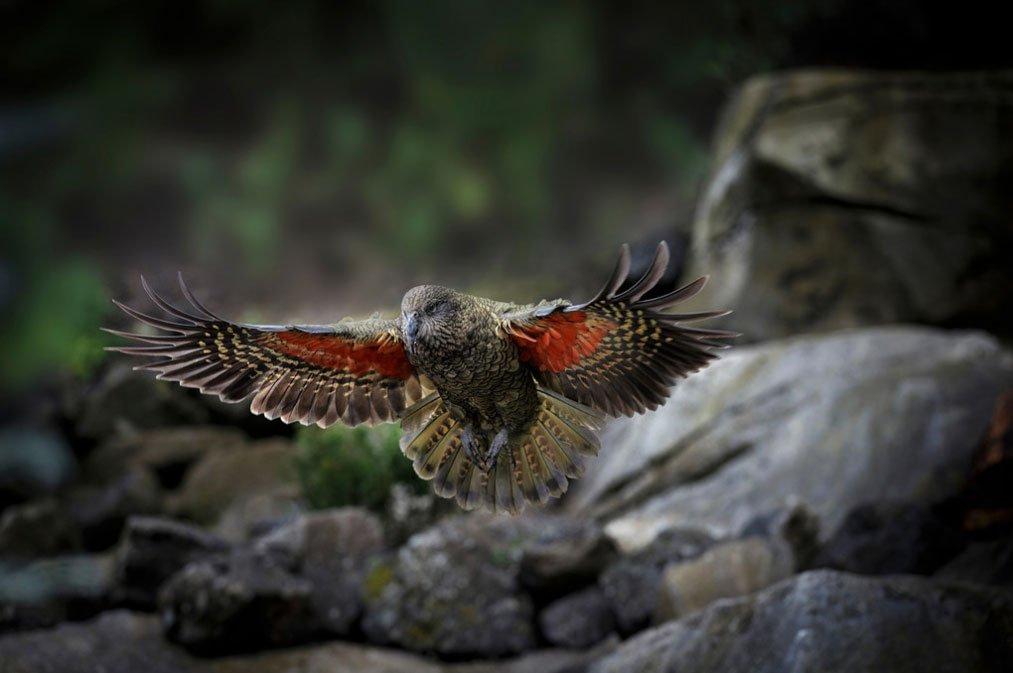 New Zealands mountain parrot, the Kea.