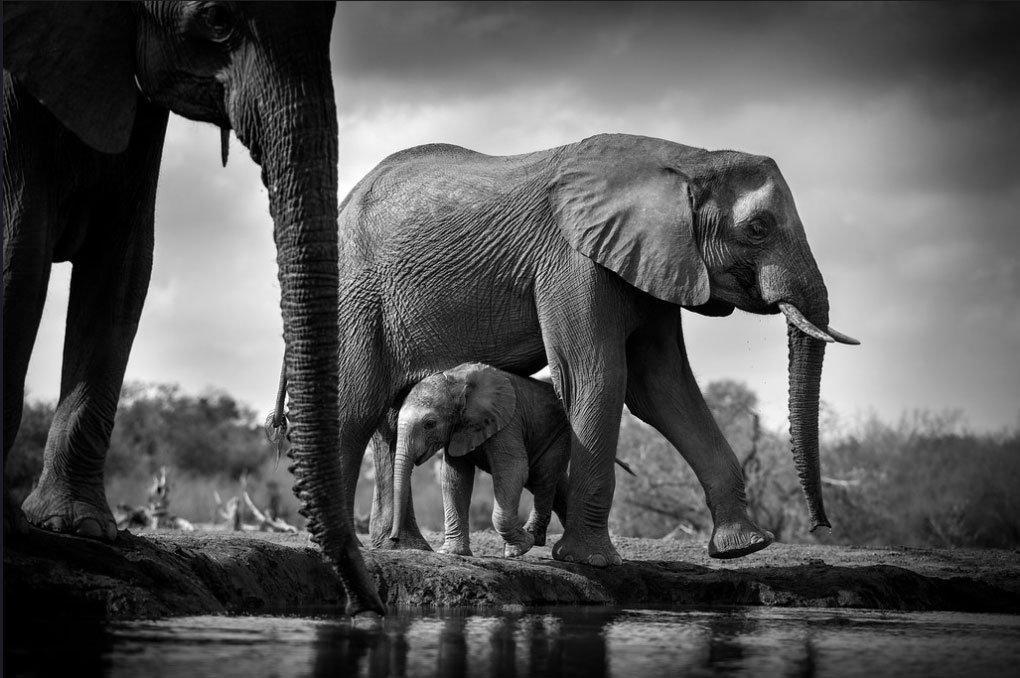 Elephants at a watering hole, Mashatu, Botswana. Africa.