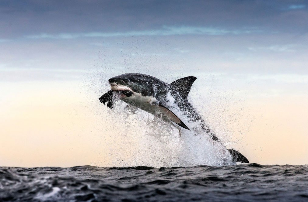 Great white shark breaches whilst attacking seal decoy used in shark research. Seal Island, False Bay, South Africa