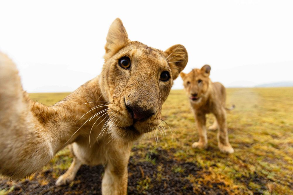 Playful Lions Check Out Camera Photograph by Kym Illman