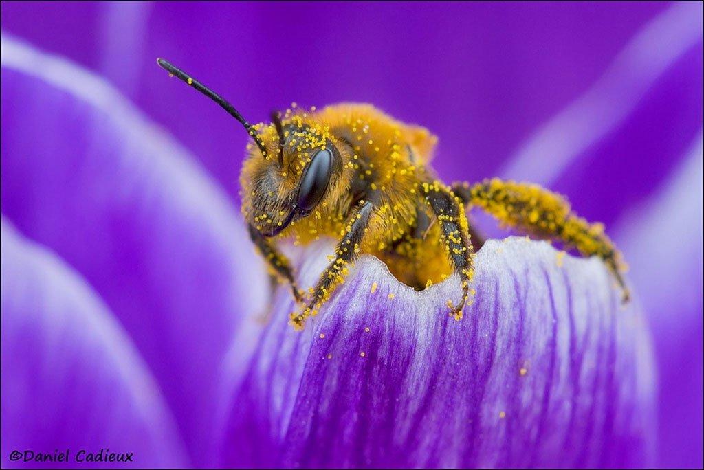 Pollen Covered Bee On Crocus Petal by Daniel Cadieux