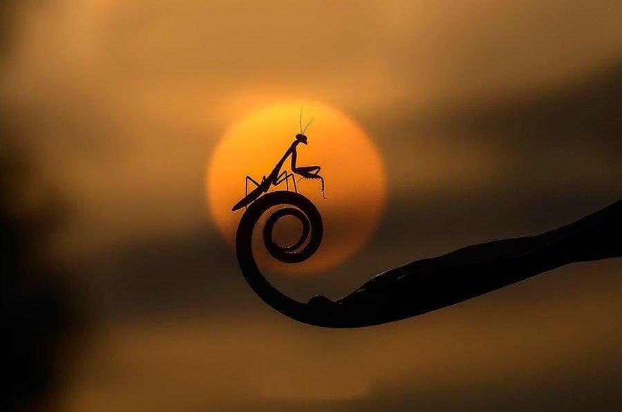 Kungfu Mantis by Boim Wahyudi