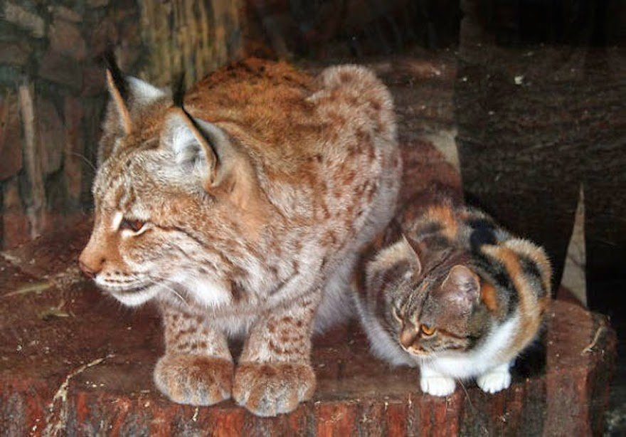 Homeless Cat Sneaks Into Zoo And Becomes Friends With A Lynx